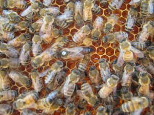 UK Queen Bee Bees For Sale